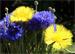 gul blåklint