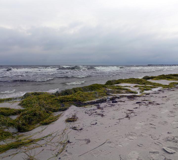 Seagrass - Sjögräs